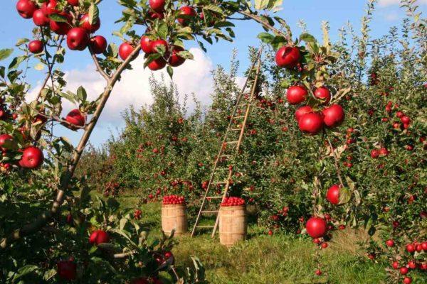 Sad z jabłkami, których przetwarzanie można polepszyć stosując techniki zawarte w konkluzjach BAT
